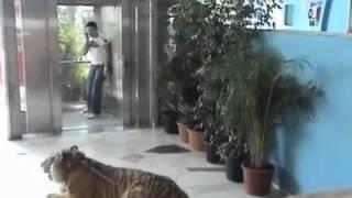 Un tigre devant l