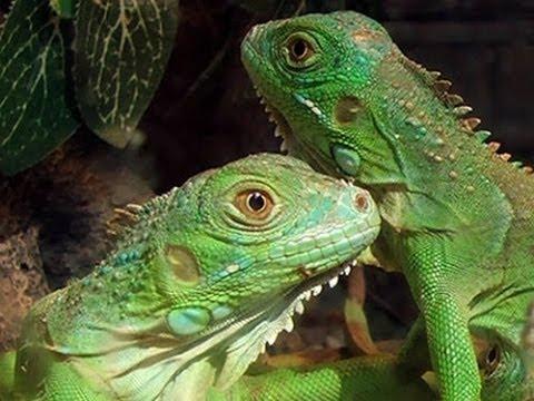 ¿Como saber elde tu iguana? YouTube