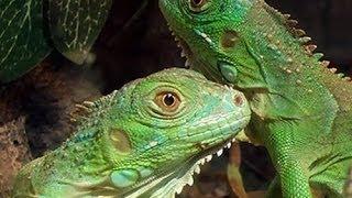 ¿Como saber el sexo de tu iguana?