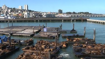 WATCH LIVE: Sea lions lounging at San Francisco's Pier 39
