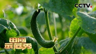 黄瓜爲何畸形多專家手把手教你如何科學種植你家黄瓜養對了嗎| CCTV「田間示範秀」20210331