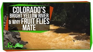Colorado's Bright Yellow River, and Why Fruit Flies Mate
