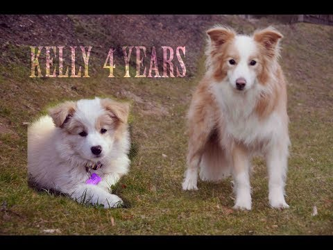 Border Collie Kelly - 4 yrs