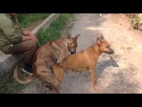 Chó phú quốc phối giống. http://chophuquocthankhuyen.com/