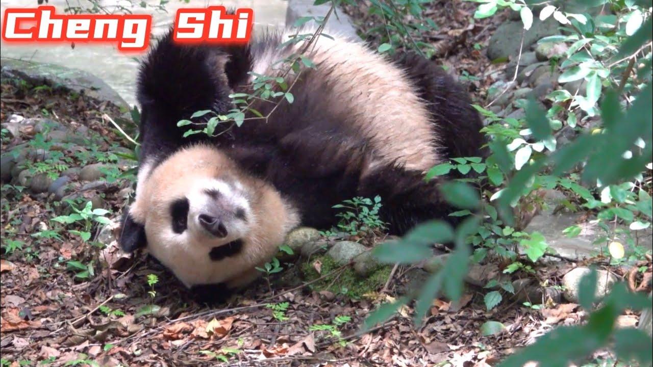 Panda CHENG SHI's post shower routine