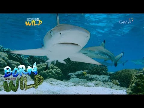 Born to Be Wild: Baby sharks in Masbate