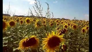 видео ПОДСОЛНУХ Цветок Фото Поле подсолнечника Свойства подсолнухов