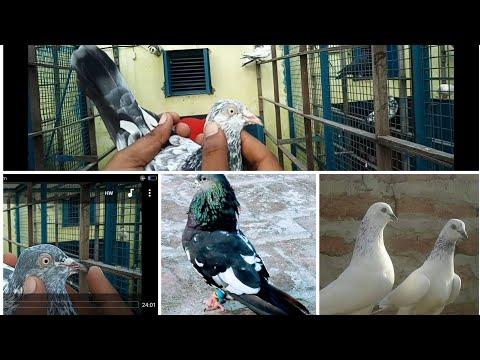 Sharik Bhai Chaman Biri Walon Ke Mashoor Desi High Flyer Kabuter ||सरिक भाई चमन बिरी वालोन के मशूर