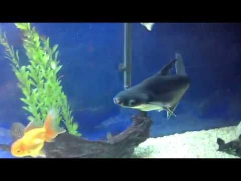 Blue Shark Tank Youtube