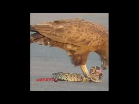 Балик овловчи Бургут балик ови 2020 рыбалка Eagle