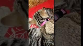 Котята окрас черный мрамор на золоте