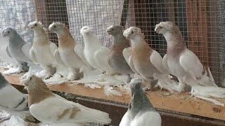 Узбекские голуби / Uzbekistan tauben ( Alexander Zickert , Sassenburg, Германия )