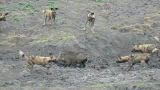 Wild Dogs vs Warthog