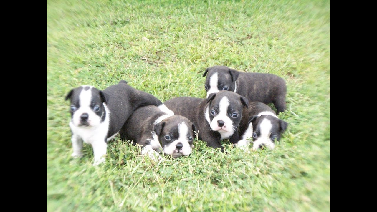 Boston Terrier, Puppies, Dogs, For Sale, In Jackson ...