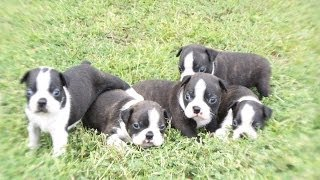 Boston Terrier, Puppies, For, Sale, In, Southaven, Mississippi, County, Ms, Meridian, Biloxi, Hattie