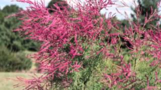 видео Форзиция – первый привет весны!