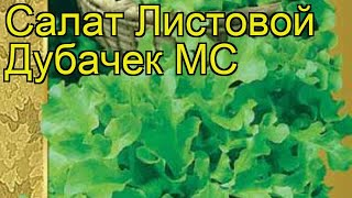 Салат листовой Дубачек МС (Dubachek MS). Краткий обзор, описание характеристик, где купить семена