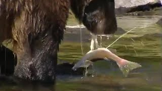 Grizzly bear salmon fishing | Deep into the Wild | BBC