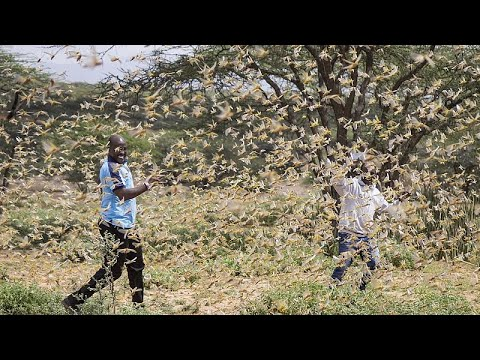 Riesige Heuschreckenplage sucht Ostafrika heim