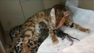 Рождение бенгальский котят. +12