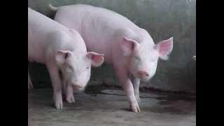 Que hace 1 cerdo oing, 2 y 98787