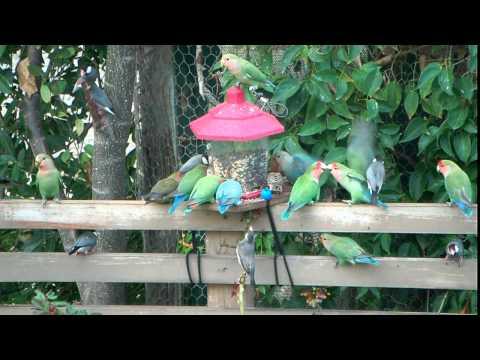 Wild Lovebirds of Maui