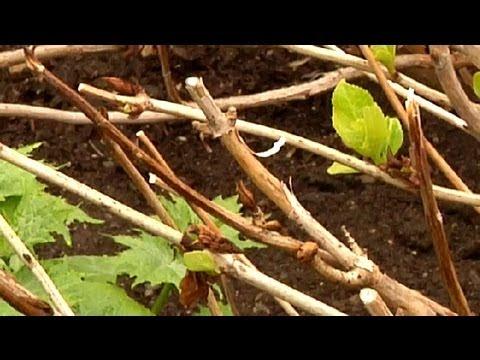 Tips On Pruning Hydrangeas : Gardening Tips