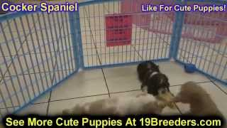 Cocker Spaniel, Puppies, For, Sale, In, Lexington, County, Kentucky, Ky, Bowling Green, Owensboro, C