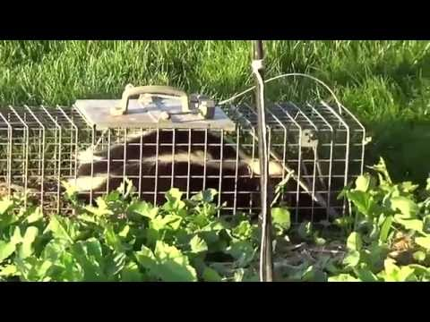 How to Live-Trap Skunks