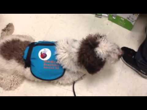 Rocky peanut allergy dog at work