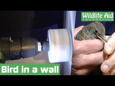 Cutting a trapped bird from a shop wall!