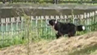 My Bernese runs and jumps at a dog park called Hillock in Akiruno. ...