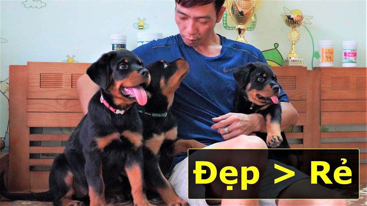 Bán chó Rottweiler con 2-3 tháng|Chó đẹp giá rẻ chỉ là mơ|Adorable puppy