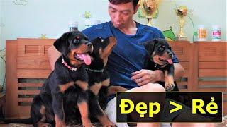 Bán chó Rottweiler c๐n 2-3 tháng|Chó đẹp giá rẻ chỉ là mơ|Adorable puppy