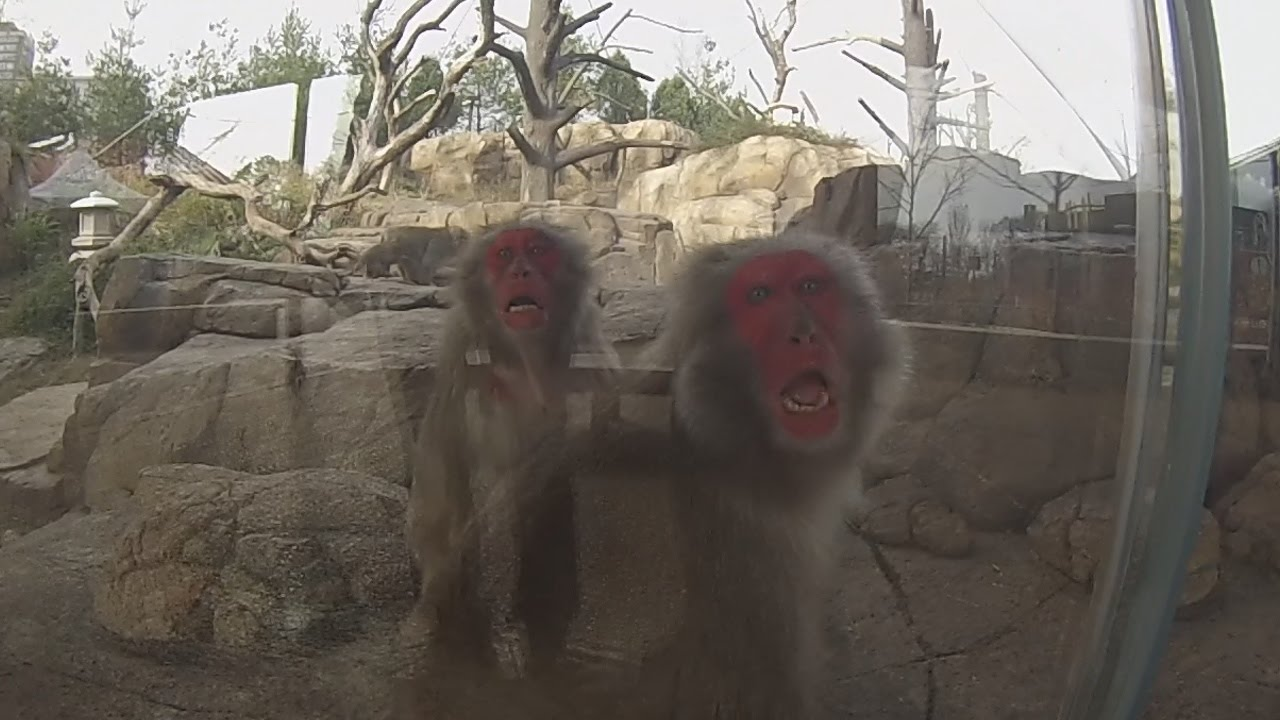 Japanese Macaques @ Lincoln Park Zoo