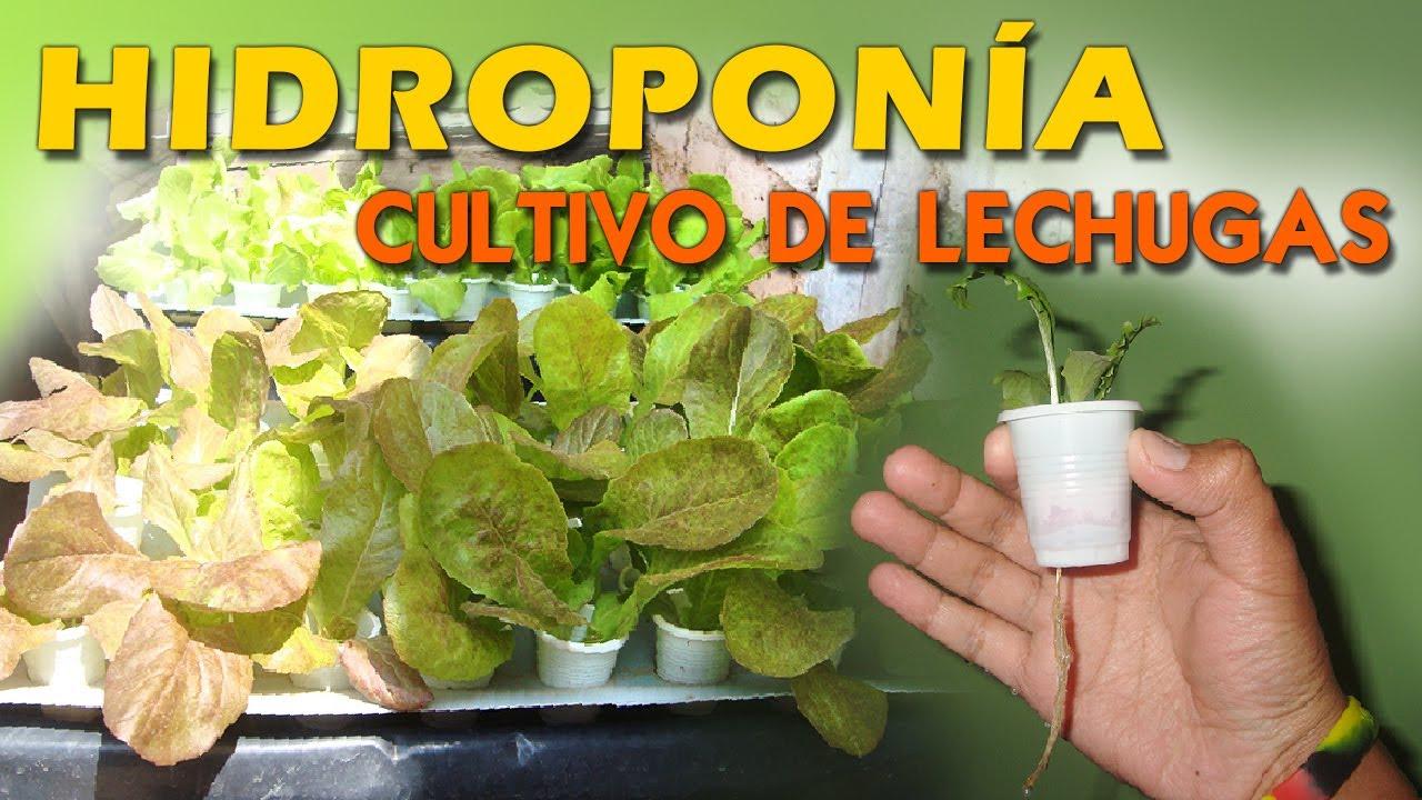 Hidropon a cultivo de lechugas sistema de ra z flotante y for Imagenes de hidroponia