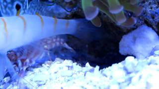 Pistol shrimp and a watchman goby.