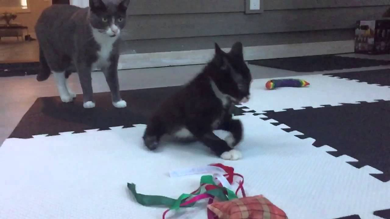 Bipawd Miracle Kitten vs. the Bunny Mind Trick