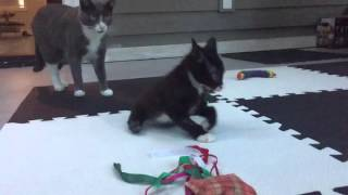 Bipawd Miracle Kitten vs. the Bunny Mind Trick thumbnail