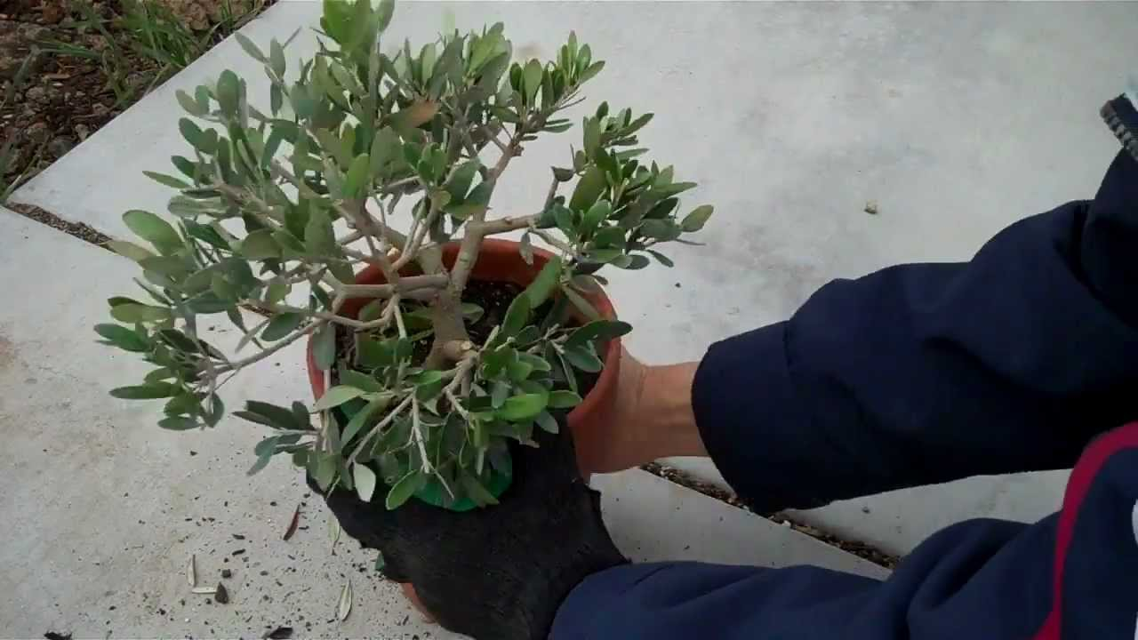 How to create an olive tree bonsai part 2 final pruning for How to make an olive tree into a bonsai