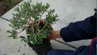 How To Create An Olive Tree Bonsai Part 2 Final Pruning.mp4