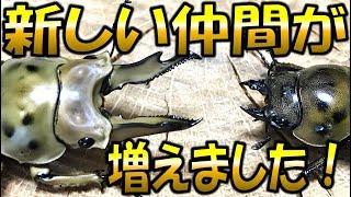 クワガタ&カブトムシ☆昆虫採集 着弾! 新しい仲間がやってきた!】(く...