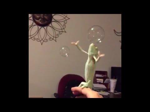 Chameleon Likes Popping Bubbles