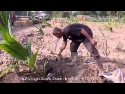 Coconut farm, coconut farmer, khmer farmer, Cambodia farmer, khmer agriculture, Cambodia agriculture