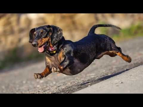 The dachshund was originally bred to be a hunter