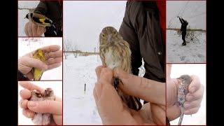 Ловля певчих птиц.  Реполовы и всякая всячина.