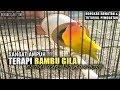 DUNIA KICAU : SANGAT AMPUH!!! TERAPI BAMBU GILA Tambah Durasi LOVE BIRD.