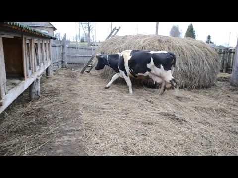 Выгон скота на пастбище/Наше пастбище/Как мы пасем коров