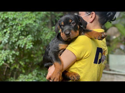 Mua chó Rottweiler (Rốt) thuần chủng liên hệ hotline: 08161911