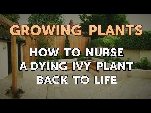 How To Nurse A Dying Ivy Plant Back To Life Youtube